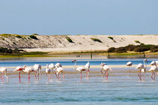 Flamingos in Algarve